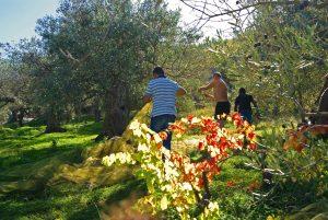 Olive's Harvest in Sicily